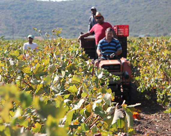 Liotrivi Wine Making